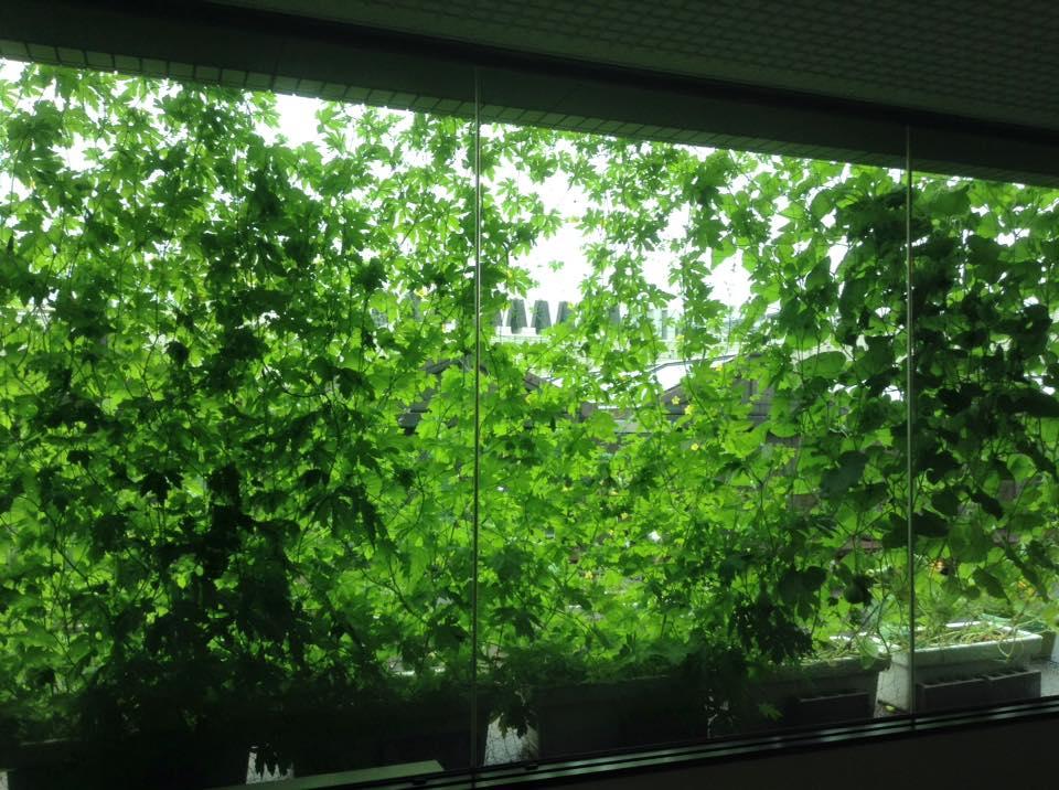 6722通路からのグリーンカーテン